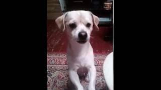 Джерри: говорящая собака