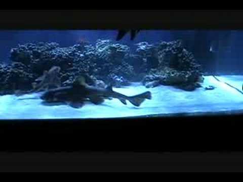Horn Shark Feeding