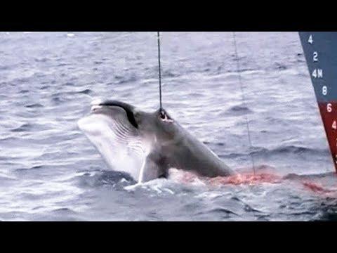 Salvaje caza de ballenas por barcos japoneses