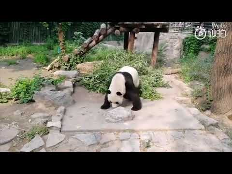 Посетители зоопарка в Пекине забросали панду камнями
