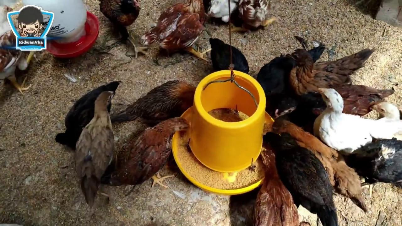 Omset Jutaan !!! Usaha Rumahan di Lahan Sempit Ternak Ayam ...