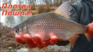 ВЕСЕННИЙ ХОД КРУПНОЙ ПЛОТВЫ! Рыбалка на фидер весной 2021.