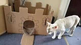 Devon Rex Playing kittens with parents