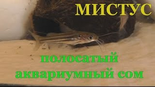 Мистус - полосатый аквариумный сом
