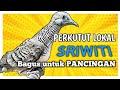 Perkutut Sriwiti Gacor Bagus Untuk Pancingan Agar Perkutut Anda Cepat Manggung  Mp3 - Mp4 Download