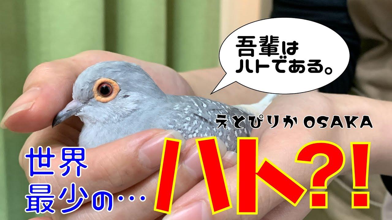 【えとぴりかOSAKA】世界最少のハトのご紹介!【ウスユキバト・Diamond dove】