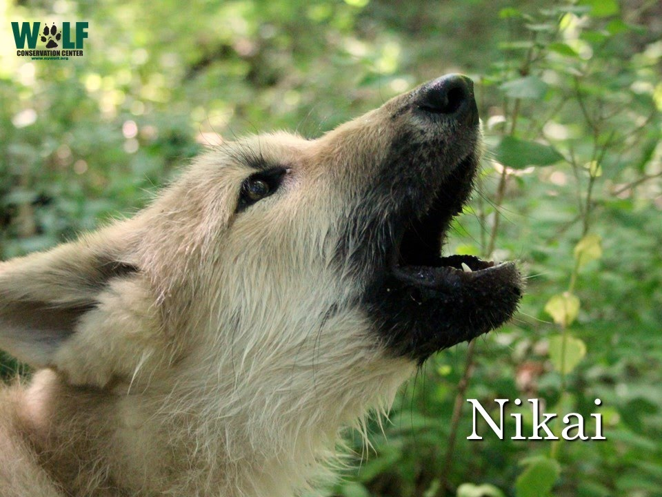 Mothers Day Hd Wallpaper Wolf Pup Nikai Howls Youtube