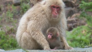 【SNOW MONKEY】 ☆Cute Baby☆ Birth 7 地獄谷野猿公苑