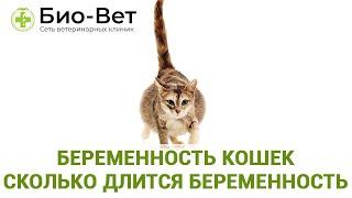 Беременность кошек  Сколько длится беременность. Ветеринарная клиника Био-Вет.
