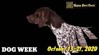 Affenpinscher Dogs & Puppies | German Dog Breeds