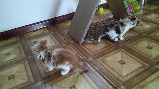 Котята Американского керла .1,5 мес. 3137