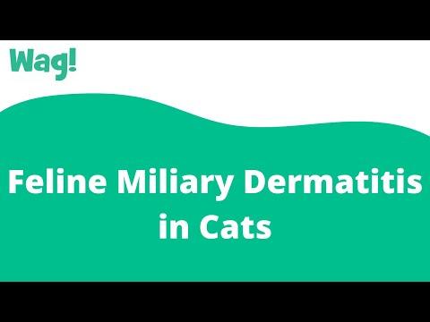 Feline Miliary Dermatitis in Cats | Wag!