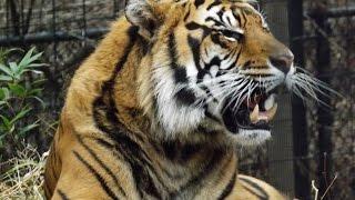 Tiger Roars at Kid