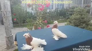 Узбекские голуби декоративные,короткоклювые капканчинни.