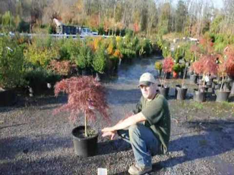 Tending Your Crimson Queen Maples In Pa Easton Youtube