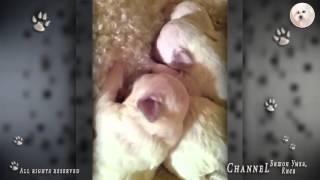 Щенки Бишона Фризе.  Bichon Frise puppies.