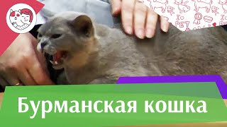 Бурманская кошка Бурма Характер на  ilikepet