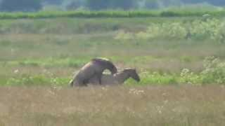 Konik Ponies Mating Burwell Fen Cambs UK 24June15 144p