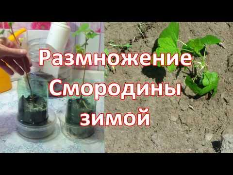 Смородина из черенков ЗИМОЙ 1