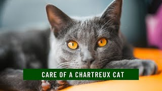 How to take care of a Chartreux Cat updated 2021