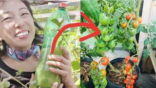 Adubo Bomba – Faça seu Tomateiro Produzir Muito