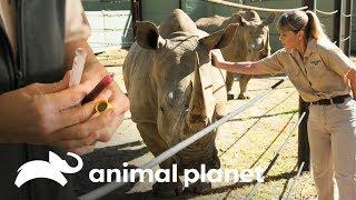 ¿Hay problemas con el embarazo de esta rinoceronte? | Los Irwin | Animal Planet