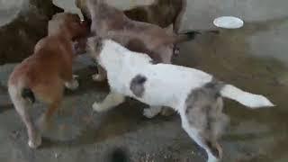 Сбалансированное питание щенков Тобета САО Волкодавы