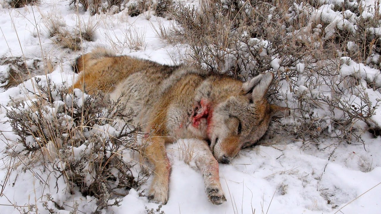 Coyote Calling with Free MP3 Sounds  Varmint Al