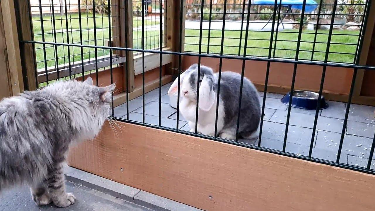 Cat meets giant rabbit