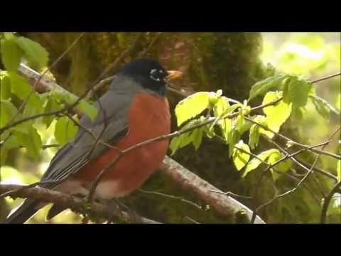 American Robin (Sialia mexicana), Dorris Ranch, Springfield, Oregon