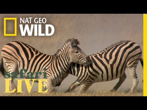 See Why This Zebra Fight Is More Than Just Black and White   Nat Geo Wild