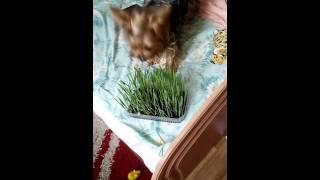 Ну очень вкусная трава,прикол