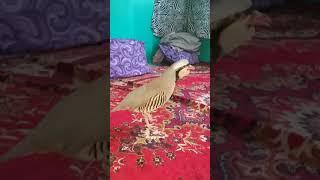 Zark chukor kubak keklik partridge  زرق چکور کبک جنگی