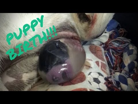 Pointer Dog giving birth to 7 PUPPIES!!! FULL COVERAGE!!!!!
