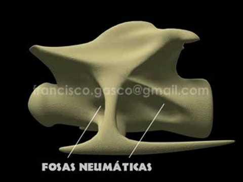 Sauropod Cervical