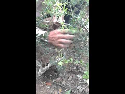 kỷ thuật tạo thế cây bonsai