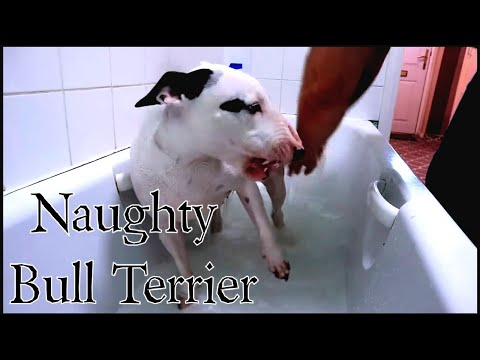Naughty bull terrier showing aggression at bath times.