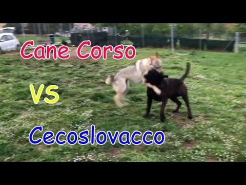 Cane Corso Vs Cane Lupo Cecoslovacco Corsican Dog Vs
