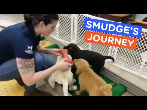 Guide Dog Puppy Playdate: Smudge's Journey Ep. 14 | The Dodo