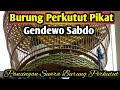 Burung Perkutut Pikat Gendewo Sabdo Suara Burung Perlutut Lokal  Mp3 - Mp4 Download
