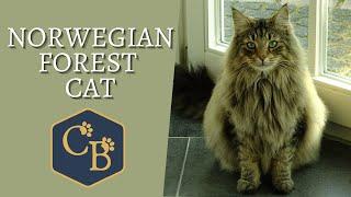 Norwegian Forest Cat  The Gentle Giant!