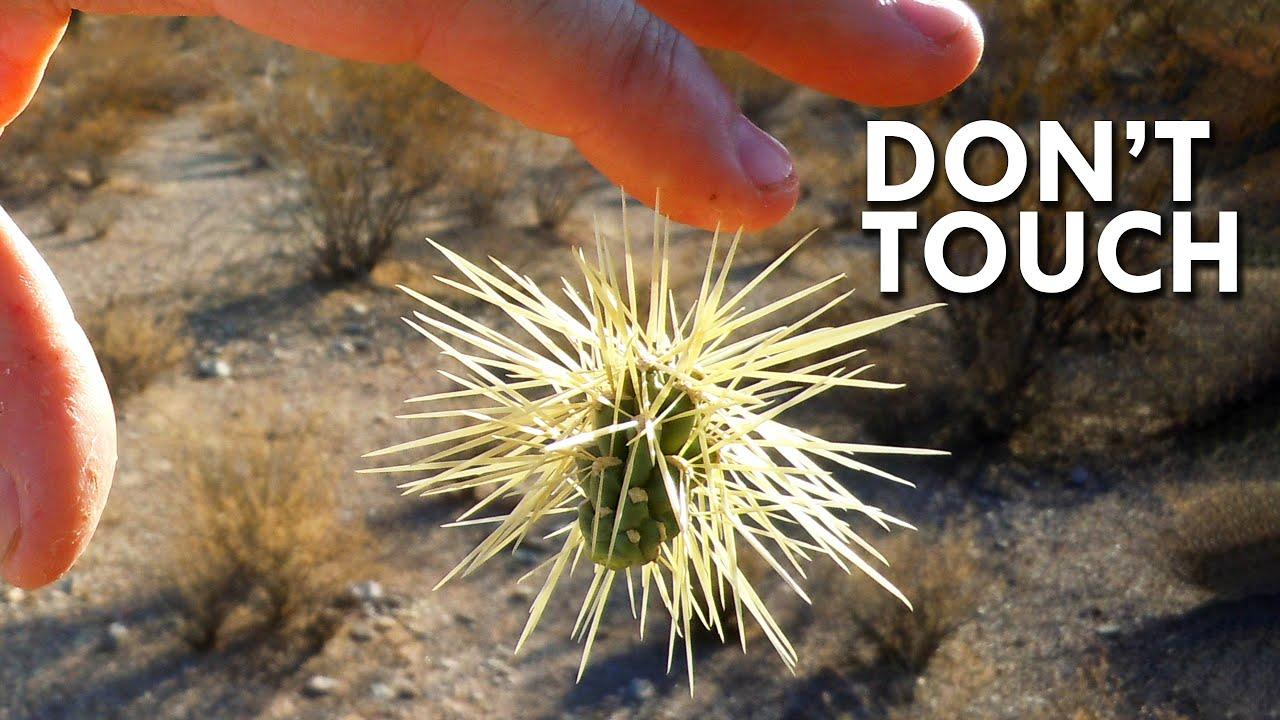 Jumping Cholla: When Cacti Attack