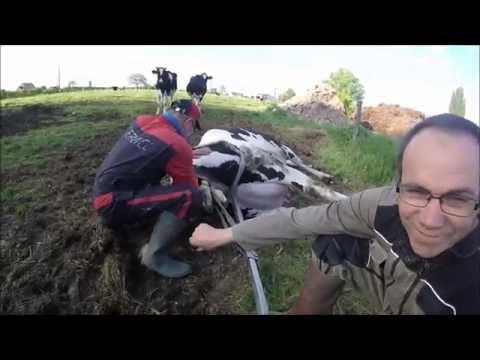Vêlage d'une Vache prim holstein a l'aide d'une vêleuse [GoPro]