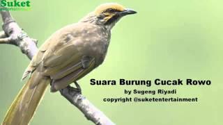 Suara Burung Cucak Rowo
