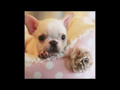#Teacup Puppies Store French Bulldog - teacuppuppiesstore - www.TeacupPuppiesStore.com 2016 WE SHIP