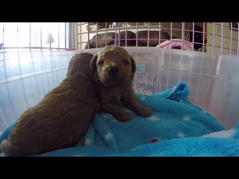 Toy Poodle Puppies napping and squeaking, 3 weeks old