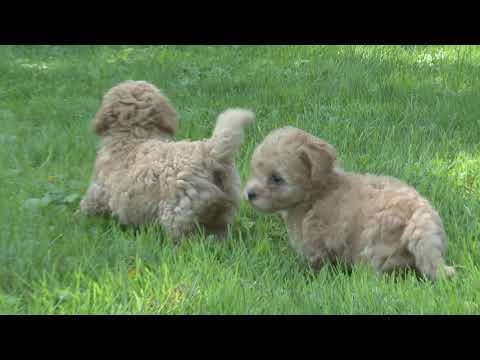 Henry Schlabach's Bichpoo  puppies for sale