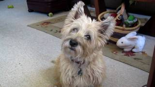 The Cairn Terrier Chronicles - Pavlov Curious About Something. Not Quite Sure What, Frankly.