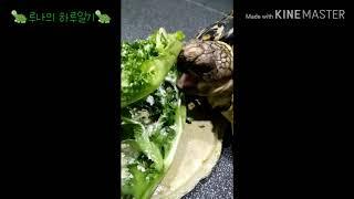 루나의 먹방/치커리/육지거북 먹이