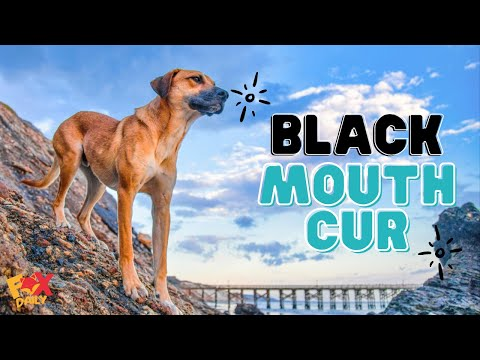 5 Facts About Black Mouth Cur